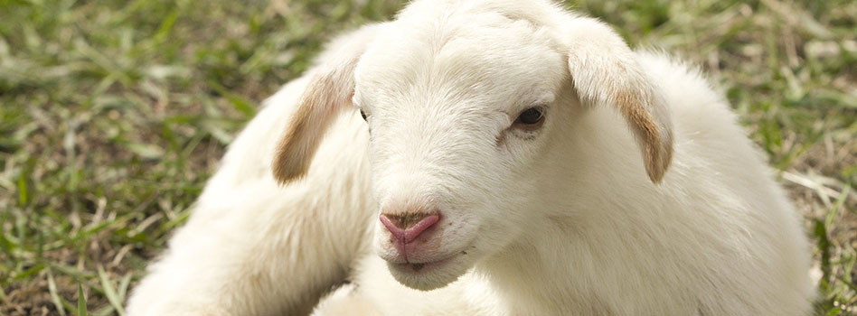 Agneau mouton village