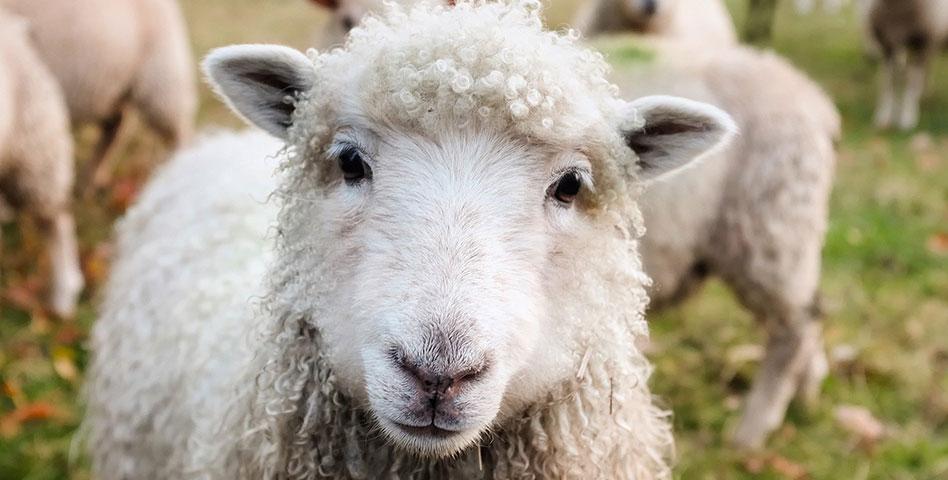 Mouton Village, une curiosité dans les parcs animaliers