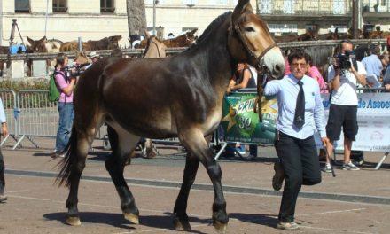 Baudet, mule et trait poitevins, découvrez ces races locales