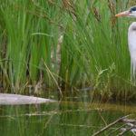Le Marais aux Oiseaux, un havre pour les ornithophiles